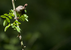 Wren (42jph) Tags: uk england bird nature nikon wildlife small sigma northumberland wren d90 nikond90 150500