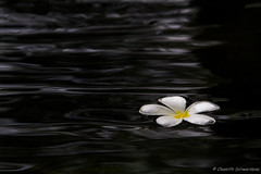 Floating Frangipani (Chamith Siriwardena) Tags: plumeria beaches frangipani srilanka bentota bentotabeachhotel araliya chamith siriwardena