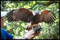 Hawk (anna.baxter) Tags: infocus highquality