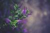 158/365 | ... because I love purple (Marta A Orlowska) Tags: flowers flower green nature canon project garden 50mm flora soft purple bokeh 5d 365 day158 newmalden martaaorlowska