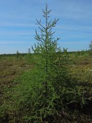 Larix laricina, Alton Bog, ME (johnyboyburkhart) Tags: larch larixlaricina