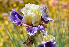 Bearded Iris (careth@2012) Tags: iris flower macro closeup spring nikon blossom bokeh britishcolumbia ngc npc bloom blooms springblossoms unforgettableflowers naturescarousel thebestofunforgettableflowers livingjewelsofnature d3100 preciouslivingjewelsofnature nikond3100