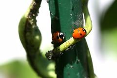 marigorringoak 2 (Arantza Bilbao) Tags: ladybird parda lekak marigorringoak