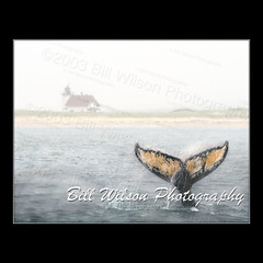 Whale Tail (wildlifephotonj) Tags: whale whales naturephotography whaletail wildlifephotography lighthousewhale lighthousewhaletail