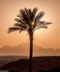 Desert evenings golden sunsets Pray that success will not come any faster than you are able to endure it. Elbert Hubbard #wcs1 #sunset #photography #gold #lone #palmtrees (WhyCallSarah) Tags: sunset that photography gold golden desert you pray july sunsets it any palmtrees will than come lone 28 success evenings elbert able faster hubbard 2014 endure 1235am wcs1
