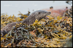 European otter (Lutra lutra) (Col-Page) Tags: