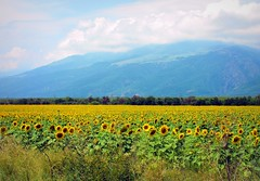 Sunflowers field and the Balkan mountain range. Bulgaria (Stella VM) Tags: flowers mountain green beautiful grass bulgaria sunflowers планина трева гора поле българия цветя зелено balkanmountains лято старапланина слънчогледи