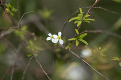 (louisa_catlover) Tags: flowers winter white plant home nature yard canon garden eos dof little bokeh australia melbourne august victoria 100mm mygarden frontyard macrolens 2014 60d