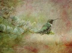 Serenity (AKS1020) Tags: texture oklahoma nature rain birds nikon hummingbirds magicunicornverybest magicunicornmasterpiece nikond7100 anedasmith