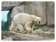 "Eisbär ""Lloyd"" (v8dub) Tags: bear white nature animal germany deutschland zoo am meer natur bio arctic lloyd polar tierpark eis weiss allemagne blanc bremerhaven tier bär ours eisbär polaire niedersachsen biodiversité"