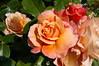 Roses du jardin de Monique à Dunkerque (1)