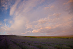Lavender fields at twilight (Graeme Terry) Tags: landscape twilight lavender cloudscape hertfordshire hitchin ickleford