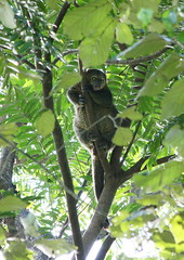 Bear cuscus (Ailurops ursinus) 015