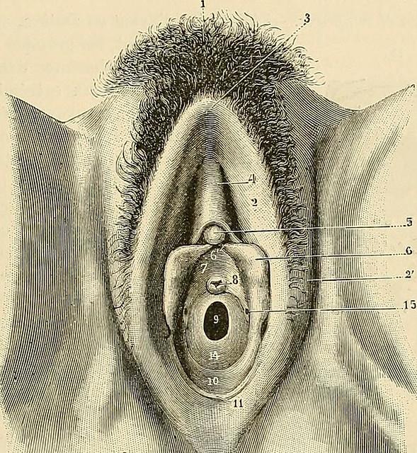 Image from page 628 of Traité danatomie humaine : anatomie descriptive, histologie, développement (1895)