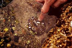 Prodding a Sea Anemone, II (F.emme) Tags: sealife lowtide lagunabeach seaanemone tidalpools treasureislandbeach