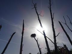 Egret's nest - Gulf of Mexico 1 (ashabot) Tags: blackandwhite gulfofmexico nature birds contrast florida silhouettes beaches egrets gulfcoast 2014 birdsantuary stumppass