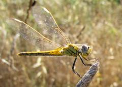 Dragonfly (DanielaC173) Tags: macro insect dragonfly wildlife arthropod odonata