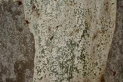 Flooded Gum (dustaway) Tags: detail australia bark nsw treebark eucalyptus panels flaking lismore myrtaceae northernrivers australianplants australiantrees rosegum floodedgum eucalyptusgrandis