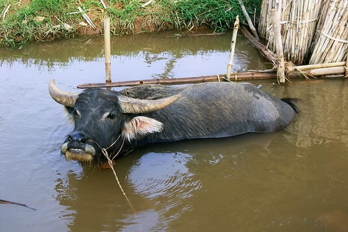 Myanmar - Inle Lake - Water Buffalo - 2