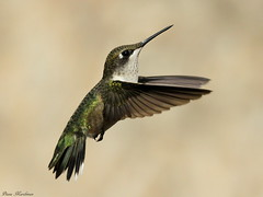 Keep Looking Up (Diane Marshman) Tags: summer brown white black green bird nature birds dark neck flying back inflight fantastic wings long hummingbird head pennsylvania wildlife chest tail small ngc flight beak feathers pa upper npc spotted underneath ruby hummer throat northeast hovering rubythroated throated coth supershot coth5