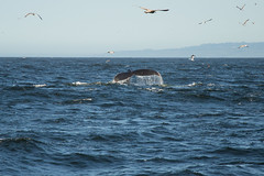 Humpback Whale - Monterey Bay - Monterey County - California - 11 May 2014 (goatlockerguns) Tags: ocean california county usa bay monterey pacific unitedstatesofamerica seal whale