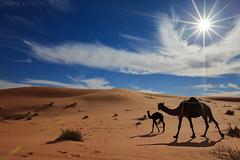 Camels life (TARIQ-M) Tags: art texture sahara landscape sand waves pattern desert ripple patterns dunes wave ripples camels riyadh saudiarabia dahna canoneos5dmarkii tariqm aldahna tariqalmutlaq