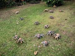 Backyard Invaders - Robber Crabs (Capital SS) Tags: ocean canon big backyard coconut indian indianocean australian crab crabs invaders robber robbers christmasisland robbercrabs