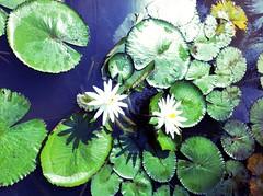 White Water Lilies @Kampung Naga (Lia Belle) Tags: flowers white water lilies westjava kampungnaga