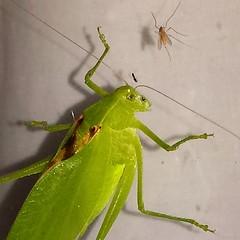 katydskullfacecreepy (fungandus) Tags: monster bug insect skull flickr wildlife maryland bugs horror demon buggy katydid katydids gooutsideseestuff