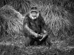 Patriarch 01 (Podsville) Tags: summer mammal unitedstates michigan august grandrapids chimpanzee pantroglodytes johnballzoo