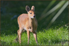 Young Chinese Water Deer (image 2 of 5) (Full Moon Images) Tags: nature water animal mammal wildlife bcn chinese young reserve deer national trust fen juvenile cambridgeshire woodwalton nnr greatfen greatfenproject