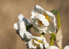 Silly Sad (Hans van der Boom) Tags: flowers plants white macro netherlands yellow garden dof nederland thenetherlands nl tuin zuidholland hoogvliet buitengewoon onsbelang