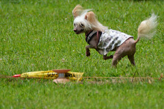 """LuLu Racing the FLAG • <a style=""""font-size:0.8em;"""" href=""""http://www.flickr.com/photos/96196263@N07/14902761233/"""" target=""""_blank"""">View on Flickr</a>"""