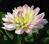 """Patricia Revisited"" by My Lovely Wife (Puzzler4879) Tags: flowers macro pointandshoot yellowflowers dahlias canonpowershot stateparks flowermacro flowercloseups bayardcuttingarboretum bayardcuttingarboretumstatepark arboretums flowerphotography canonpointandshoot newyorkstateparks yellowdahlias a580 dahliagardens canona580 canonpowershota580 powershota580 longislanddahliasociety longislandstateparks ntacpatricia dahliaphotography dahliantacpatricia dahliapatricia"