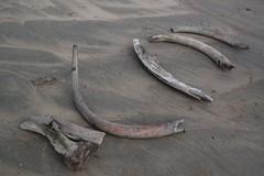 Mammoth tusks found on Taymyr, Siberia (johanna.anjar) Tags: expedition russia research siberia mammoth geology tundra tusk mammut quaternary taymyr tajmyr