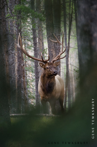 Bull Elk in Pines