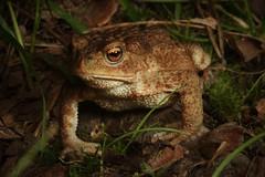 Bufo bufo (Vide Ohlin) Tags: nature animals amphibian toad herpetology bufo groda