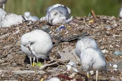 PSSN (The Gull Explorer) Tags: nature birds gulls landfill caspiangull laruscachinnans ukk pssn zabielikis yellowplasticband ringeuropelaruscachinnans ypssn