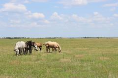 Horses in the Sandhills