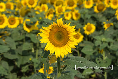 Manitoba Sunflower (Wife of Mine) Tags: flowers summer canada green yellow country manitoba sunflowers