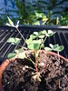 Lucky Clover (Ceorl) Tags: plant flower clover shamrock irishluck