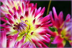 For Anyone Who Needs Cheering Up Right Now :) (Elaine 55.) Tags: dahlia flowers colour nature floralfantasy unforgettableflowers