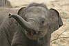 2. Radza Junior (K.Verhulst) Tags: elephant elephants emmen noorderdierenpark olifanten dierentuinemmen asiaticelephants aziatischeolifanten