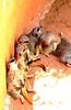 Suricata`s Family (copito_m) Tags: naturaleza color nature animal nikon animales mywinners abigfave aplusphoto