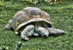 Seychelles Giant Tortoise in Prague Zoo (traveltipy.com) Tags: zoo prague turtle praha czechrepublic