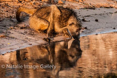 Watchful drinking (Natalie.Imagegallery) Tags: africa brown reflection water