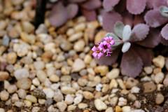 A beautiful life (neelgolapi) Tags: pink flower pebbles bbg brooklynbotanicgarden