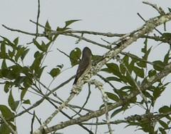 Olive-sided Flycatcher 20140829001010 (m wall nc) Tags: usa northcarolina eden