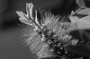 Bottlebrush (B&W) (Life_After_Death - Shannon Day) Tags: life flowers red blackandwhite bw white black flower color detail macro green art floral closeup canon garden botanical photography eos death blackwhite petals bottle soft day desert bokeh gardening vibrant australian dry australia brush petal shannon after wildflowers bottlebrush dslr delicate botany wildflower canondslr canoneos heavenly hardy intricate lifeafterdeath 50d shannonday canoneos50d eosdslr canoneos50ddslr lifeafterdeathstudios lifeafterdeathphotography shannondayphotography shannondaylifeafterdeath