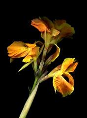 56139.01 Canna (horticultural art) Tags: flowers flower botanical stalk canna flowerstalk horticulturalart